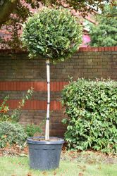 Photinia 'Little red robin' 30l Half Standard