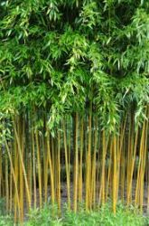 Phyllostachys aureosulcata 'Spectabilis' (Yellow Groove Bamboo) 14L pot, 120-150cm tall
