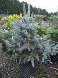 3ft 'Erich Frahm' Blue Spruce Tree | 12L Pot | Picea pungens | By Frank P Matthews