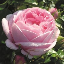 Pink Martini Bush Rose - 5.5L Pot
