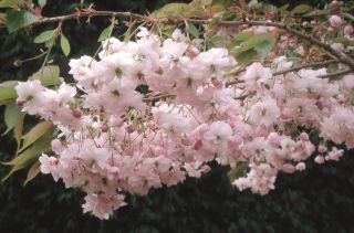 5ft Parasol Cherry Blossom Tree | 12L Pot | By Frank P Matthews™