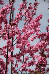 5ft Spring Glow Cherry Blossom Tree | 12L Pot | By Frank P Matthews™