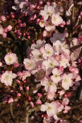 5ft Tiltstone Hellfire Cherry Blossom Tree| 12L Pot | By Frank P Matthews™