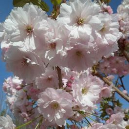 5ft Pink Champagne Cherry Blossom Tree | 12L Pot | Prunus Ichiyo | By Frank P Matthews™