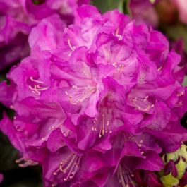 2ft Rhododendron 'Purple Passion' | 7.5L Pot | Rhododendron Hybrid