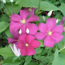 3ft Clematis Remembrance | 2.5L Pot