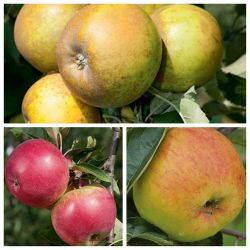 3 X 5ft Apple Trees | RHS Award Winning Collection