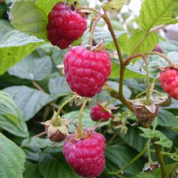 1ft 'Heritage' Raspberry Bush | 3L Pot | By James McIntyre & Sons