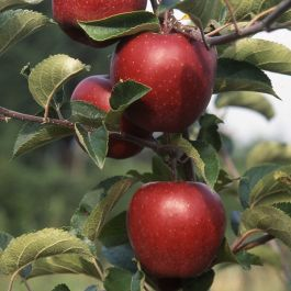 5ft 'Red Jonaprince® Dessert Apple Tree| M116 Semi Dwarfing Rootstock | Bare Root | By Frank P Matthews™