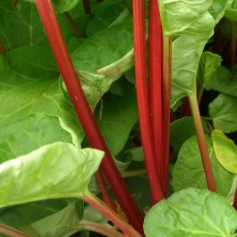 'Canada Red' Rhubarb Plant | 3L Pot | By James McIntyre & Sons