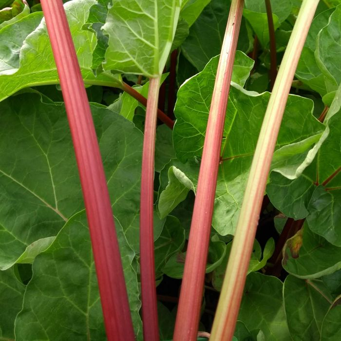 'Champagne' Rhubarb Plant | 3L Pot | By James McIntyre & Sons