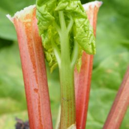 'Timperley Early'' Rhubarb Plant | 3L Pot | By James McIntyre & Sons