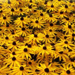Rudbeckia 'Goldsturm' | Pack of 5 Plug Plants