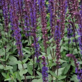 Salvia nemorosa 'Caradonna' | Pack of 5 Plug Plants