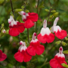Salvia 'Hot Lips' | Pack of 5 Plug Plants