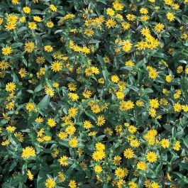 Sanvitalia 'Azteken Gold' | Pack of 5 Plug Plants