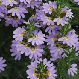 Scaevola 'Blue Print' | Pack of 5 Plug Plants