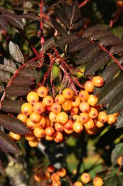 5ft Amber Light Rowan Tree | 12L Pot | Sorbus 'Amber Light'