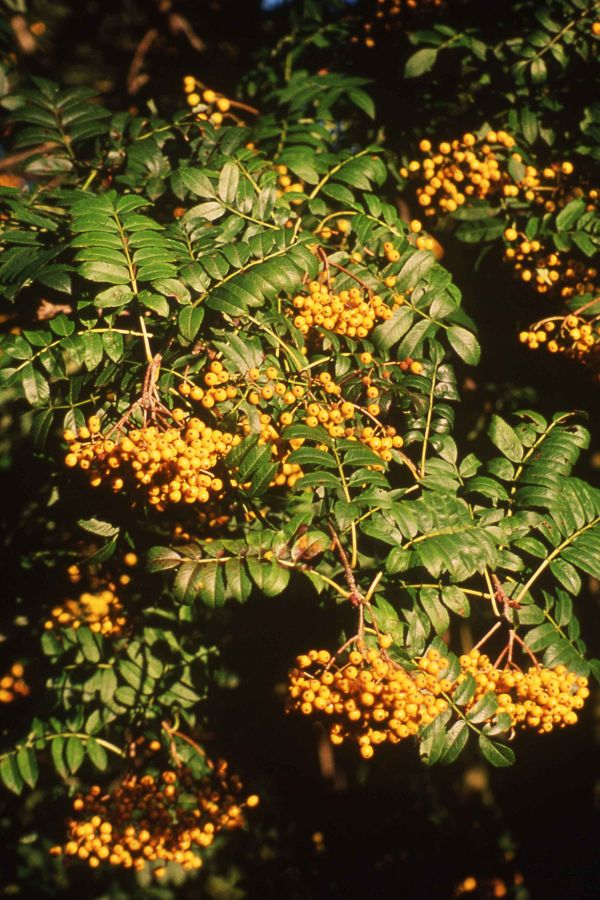 5ft Wisley Gold Rowan Tree | 12L Pot | Sorbus Wisley Gold | By Frank P Matthews™