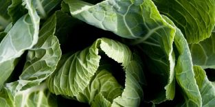 Green Cabbage 'Wintergreen' | 10 Plants | By Plant Theory
