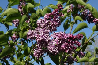 4ft Sensation' Lilac | 7L Pot | Syringa vul 'Sensation'