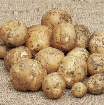 Duke of York First Early Seed Potatoes