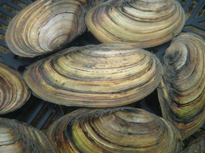 5 Aquatic Plant Friendly Swan Mussels