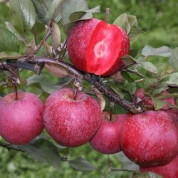 5ft 'TICKLED PINK Baya Marisa Dual Purpose Apple Tree | MM106 Semi Vigorous Rootstock | 12L Pot | By Frank P Matthews™