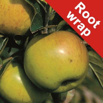 Bountiful' Cooking Apple Tree - Bare Root