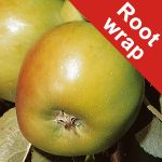 Bramley's Seedling' Cooking Apple Tree - Root Wrapped