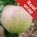 Howgate Wonder Cooking Apple Tree - Root Wrapped