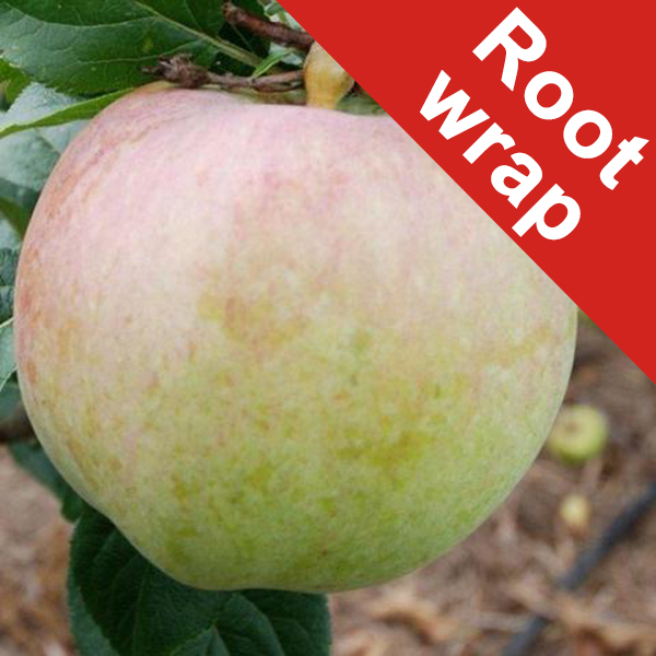 Howgate Wonder Cooking Apple Tree - Bare Root
