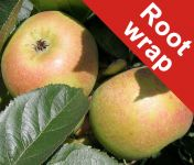 Blenheim Orange' Dessert Apple Tree - Root Wrapped