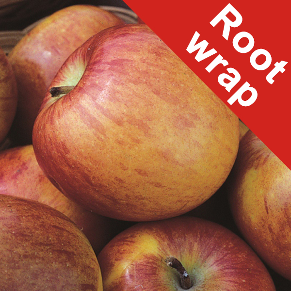 Braeburn Hillwell Dessert Apple Tree - Root Wrapped