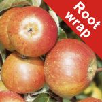Cox's Orange Pippin' Dessert Apple Tree - Bare Root