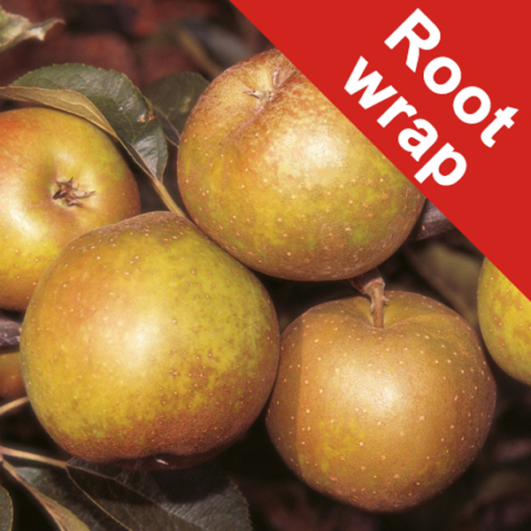 Egremont Russet' Dessert Apple Tree - Bare Root