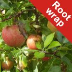 Falstaff' Dessert Apple Tree - Root Wrapped