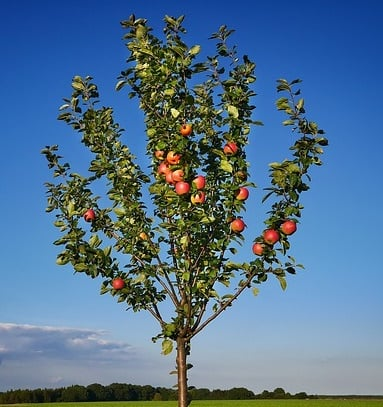 5ft 'Queen Cox' Dessert Apple Tree | M26 Semi Dwarfing Rootstock | Bare Root