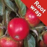 Worcester Pearmain' Dessert Apple Tree - Root Wrapped