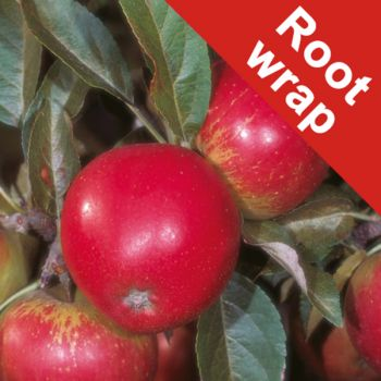 Worcester Pearmain' Dessert Apple Tree - Bare Root