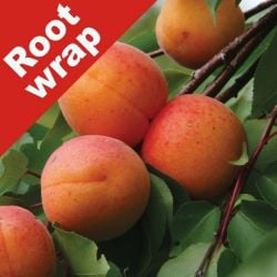 5ft 'New Large Early' Apricot Tree | SJA Semi Vigorous Rootstock  | Bare Root