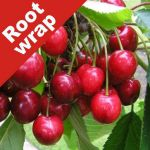 Cherry Tree 'Lapins Cherokee' - Root Wrapped