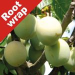 Plum Tree 'Cambridge Gage' - Root Wrapped