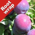 Plum Tree 'Czar' - Root Wrapped