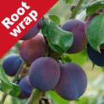 Plum Tree 'Marjorie's Seedling' - Root Wrapped