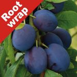 Damson Tree 'Merryweather' - Root Wrapped