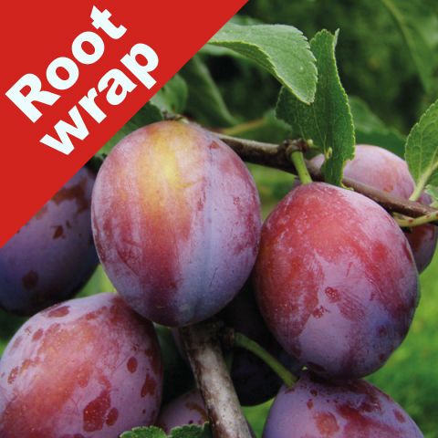 Plum Tree 'Opal' - Root Wrapped