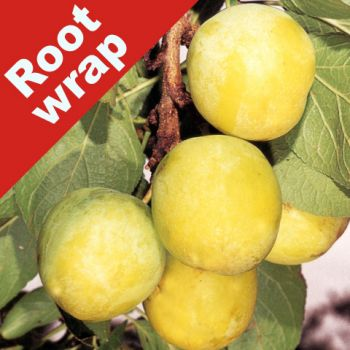 Plum Tree 'Oullin's Golden Gage' - Bare Root