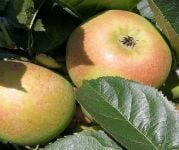 Blenheim Orange' Dessert Apple Tree - 9L Pot