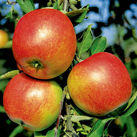 Apple 'Braeburn' - Cordon, 8L pot